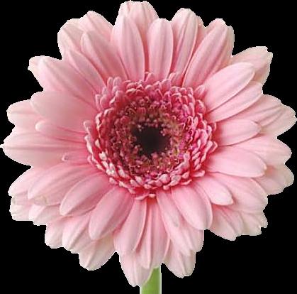 Tubes fleurs - Image fleur marguerite ...